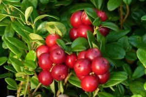 Вид ягоды клюквы