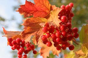 Польза и вред ягод калины для здоровья взрослых и детей
